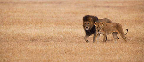Lions at Ngorongoro, Crater Highlands in Tanzania, © Kenneth K. Coe