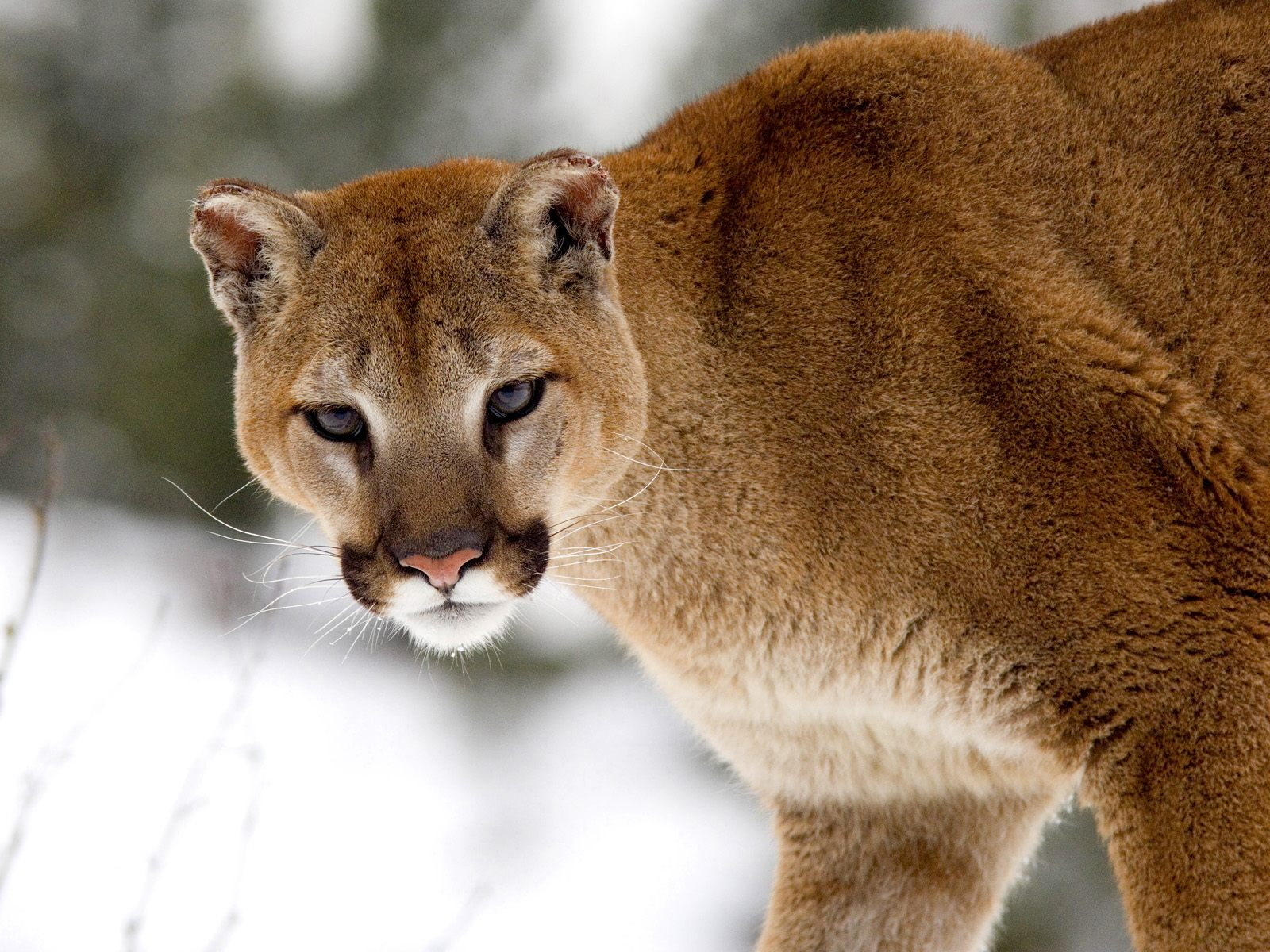 Research to regulation: Cougar social behavior as a guide ...